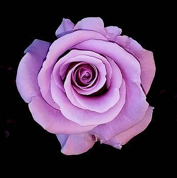 Majestic Lavender by Jay Milo