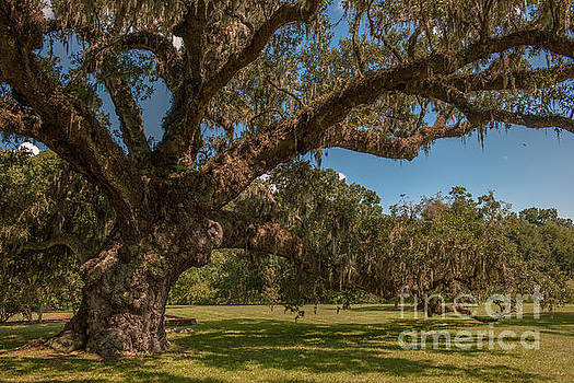 Dale Powell - Majestic Live Oak Tree at McLeod Plantation