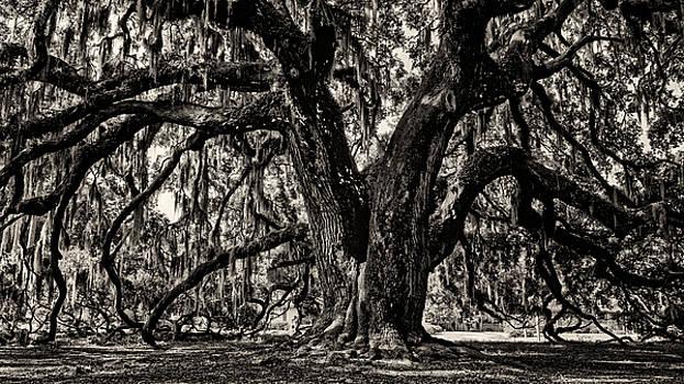 Heather Applegate - Majestic Oak bw
