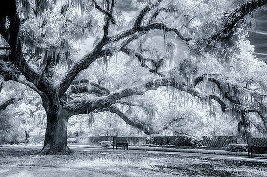 Majestic Oak by Cathie Crow