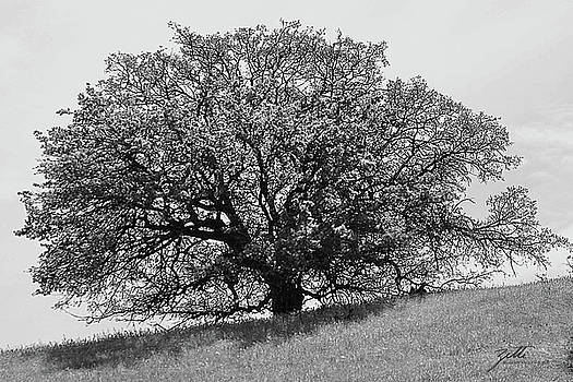Majestic Oak by Suzette Kallen