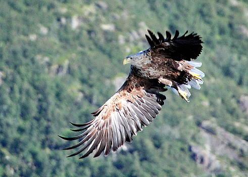 Majestic Sea Eagle in Flight by Laurel Talabere