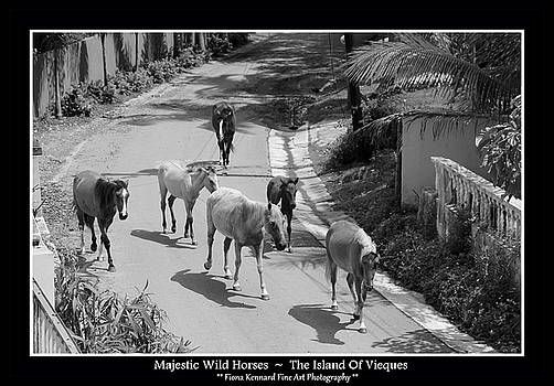 Majestic Wild Horses Of Vieques Poster by Fiona Kennard