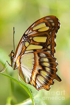 Malachite butterfly by Julia Hiebaum