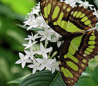 Malachite Butterfly macro shot by Ronda Ryan