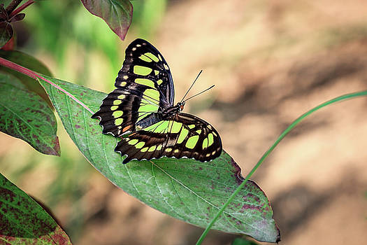 Malachite Butterfly by Tim Abeln
