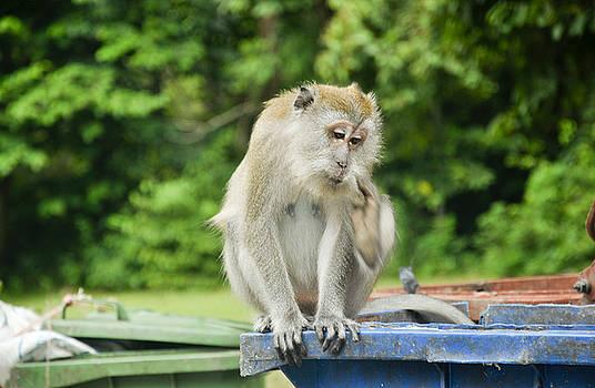 Malaysian Monkey by Freepassenger By Ozzy CG