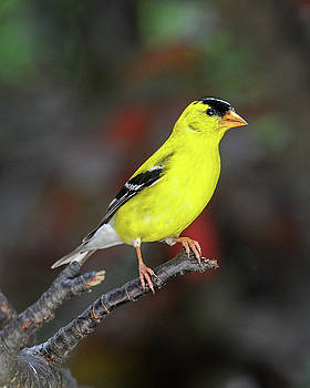 Male American Gold Finch Profile by Lara Ellis