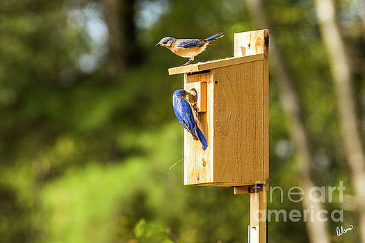 Male and Female Bluebirds by Alana Ranney