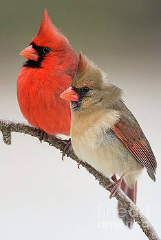 Male and Female Northern Cardinals on PIne Branch by Bonnie Barry