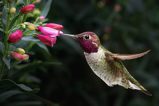 Male Anna's hummingbird visit flowers by William Freebilly photography