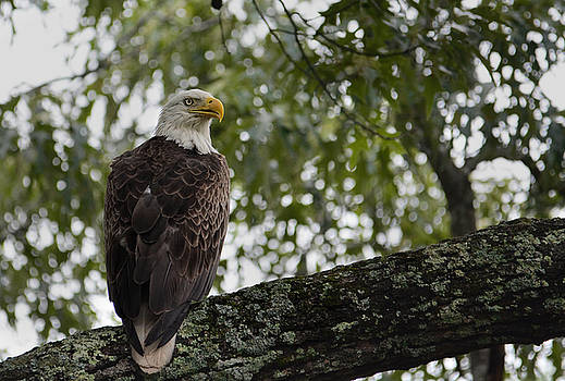Male Bald Eagle In Shiloh Tennessee 052120152456 by WildBird Photographs