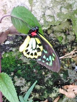 Male Birdwing Butterfly by Andrew Blitman