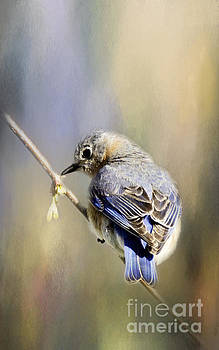 Male Blue Bird by Pam  Holdsworth
