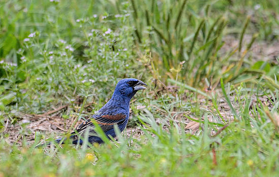 Male Blue Grosbeak In The Grass Shiloh Tennessee 052120152523 by WildBird Photographs