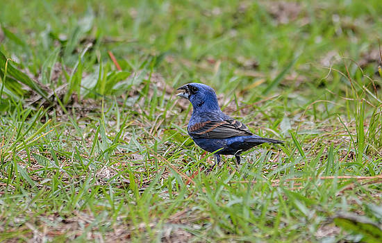 Male Blue Grosbeak In The Grass Shiloh Tennessee 052120152533 by WildBird Photographs