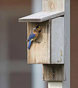 Male bluebird and babies by Jack Nevitt
