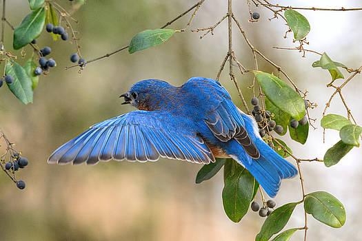 Male Bluebird Eating Berries 011020164970 by WildBird Photographs