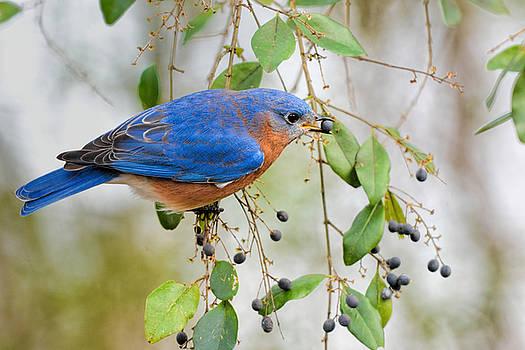 Male Bluebird Eating Berry 011020164716 by WildBird Photographs