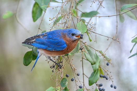 Male Bluebird Eating Berry 011020164855 by WildBird Photographs