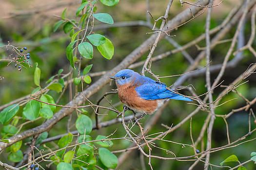 Male Bluebird InThe Bushes 011020164499 by WildBird Photographs