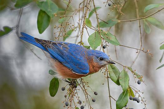 Male Bluebird On Berry Bush 011020164682 by WildBird Photographs