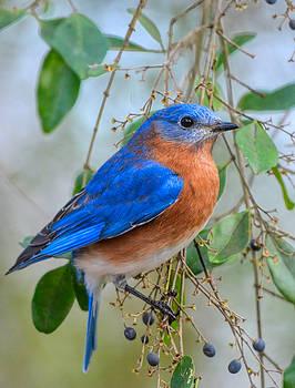 Male Bluebird On Berry Bush 011020164847 by WildBird Photographs