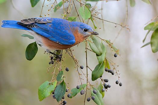 Male Bluebird On Berry Bush 011020164889 by WildBird Photographs
