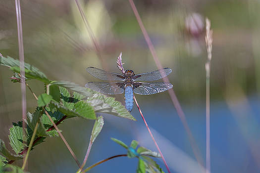Darren Wilkes - Male Broad-bodied Chaser