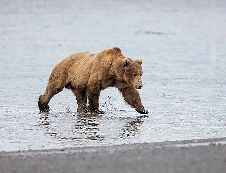 Male Brown Bear at low tide by Gloria Anderson