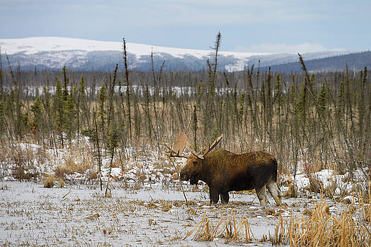 Reimar Gaertner - Male bull moose with palmate antlers wading in frozen pond along