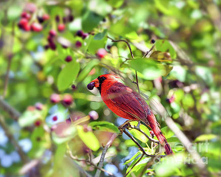 Male Cardinal and His Berry by Kerri Farley