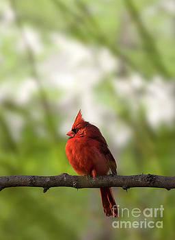 Male Cardinal Bird Closeup on a Tree Branch by Brandon Alms
