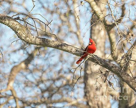 Male Cardinal by Cathy Alba