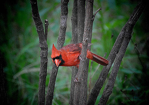 Male Cardinal by Russ Mullen