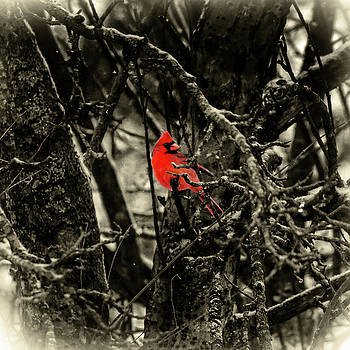 Sharon Popek - Male Cardinal