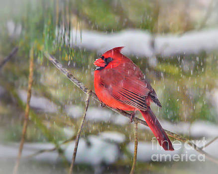 Male Cardinal With Falling Snow by Kerri Farley
