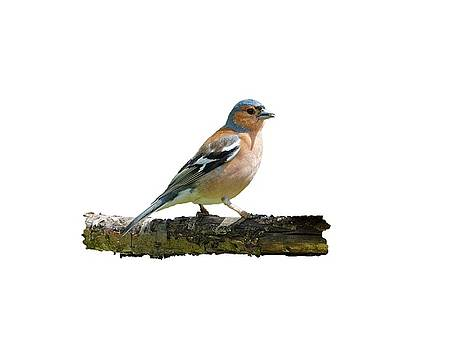 Paul Gulliver - Male Chaffinch, Transparent Background
