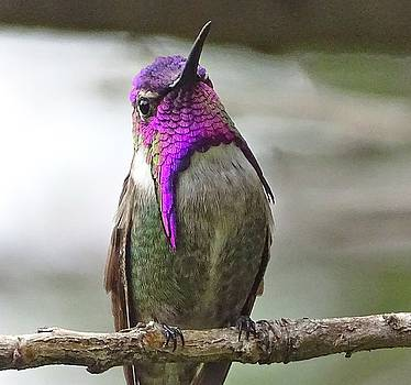 Male Costa's Hummingbird on Branch by Marillyn Meadows Bernstein