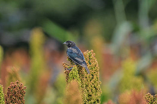 Male Cowbird Feasts on Milo in Shiloh National Military Park, Tennessee by WildBird Photographs