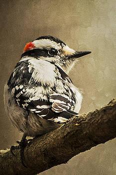 Male Downy Woodpecker by Lauren Brice