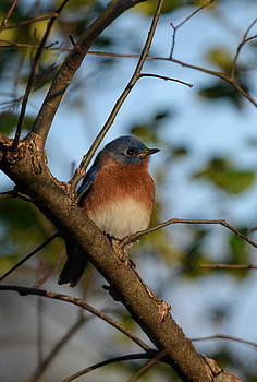 Male Eastern Bluebird 122520150633 by WildBird Photographs