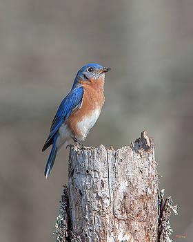 Male Eastern Bluebird Singing DSB0287 by Gerry Gantt