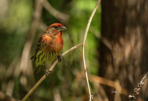 Male Finch In Red Plumage by Angela A Stanton
