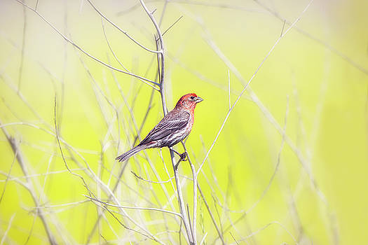 Susan Gary - Male Finch on Bare Branch