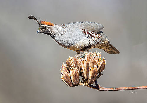 Male Gambel's Quail on Yucca Pods by Fred J Lord