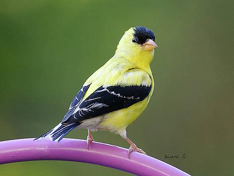 Male Goldfinch by Diane Giurco