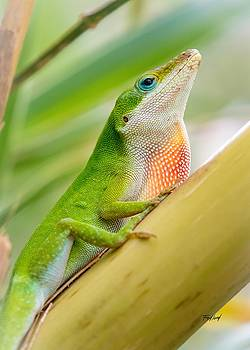 Male Green Anole Lizard by Fred J Lord