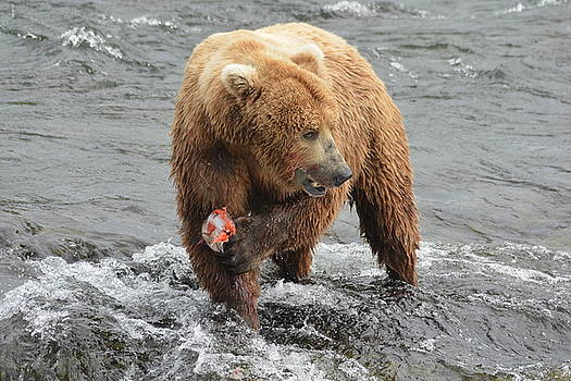 Patricia Twardzik - Male Grizzly Bear Fishing at the falls
