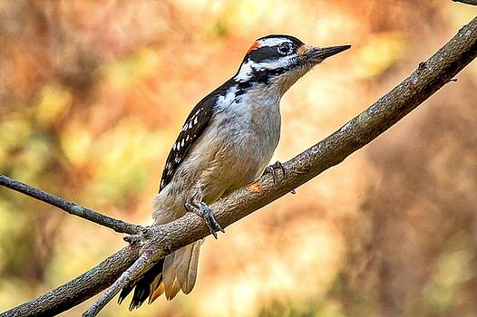 Male Hairy Woodpecker by Robert L Jackson